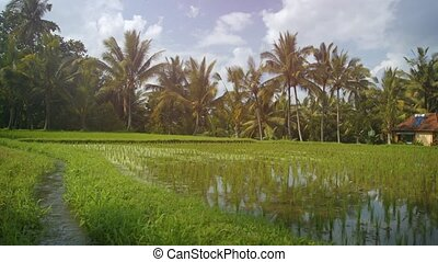 canal, indonésie, irrigation, champ, a côté, bali, son, riz