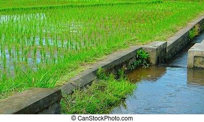 "canal, irrigation, plantation, sound"", système, riz, ""engineered"