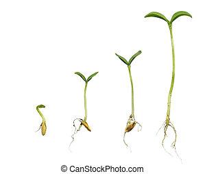 cantaloup, séquence, germination
