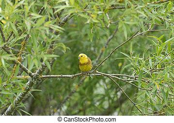 canterbury, zealand., arbre, yellowhammer, a côté, kaiapoi, nouveau, saule, rivière