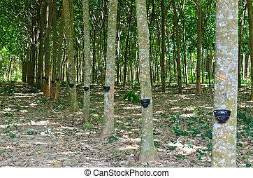 caoutchouc, latex, tapotement, arbre