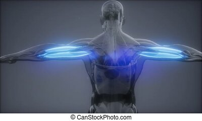 carte, -, anatomie, visible, triceps, muscle