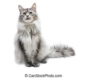 cat., nègre, gris, curieux, maine, isolé, portrait, chat, blanc, rayé, jeune, arrière-plan.