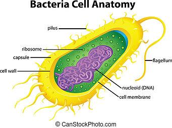 cellule, bactérie, structure