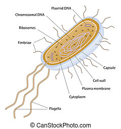 cellule, bactérien, structure