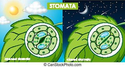 cellule, diagramme, plante, projection