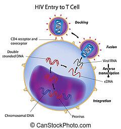 cellule, entrée, t, hiv