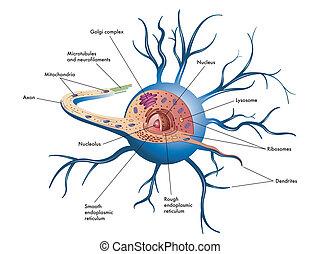 cellule, nerf