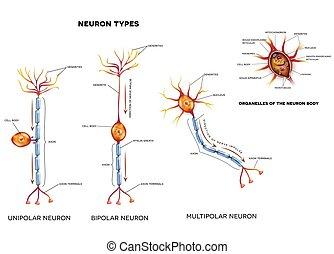 cellule, nerf, organelles, types