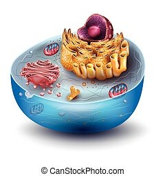 cellule, structure