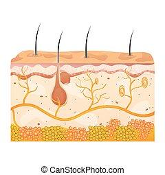 cellules, peau
