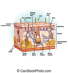 cellules, structure, peau humaine