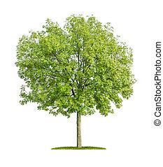 cendre blanche, arbre, isolé, fond