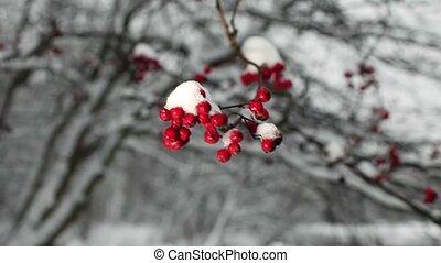 cendre montagne, neige, baies rouges