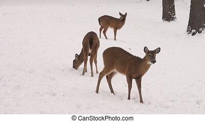 cerfs communs whitetail, neige, biche
