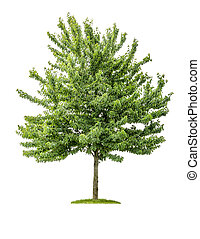cerise, blanc, arbre, isolé, fond