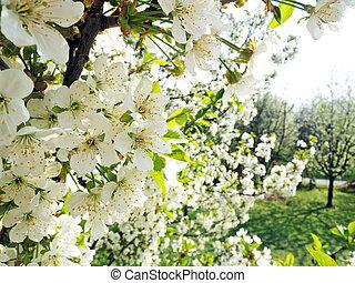 cerise, fleurs, arbre, jardin