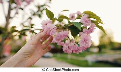 cerise, main, toucher, sakura, femme, fleurir, fleurs, ou, park.