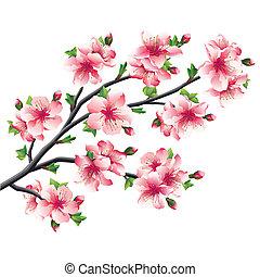 cerisier, japonaise, sakura, fleurs, branche