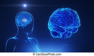 cerveau, concept, thalamus, femme, boucle