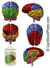 cerveau, humain, 3d