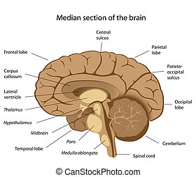 cerveau, humain, eps8, anatomie