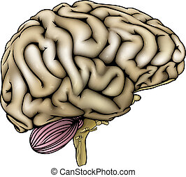 cerveau, humain, illustration