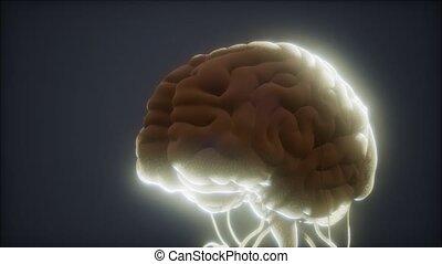 cerveau humain, modèle, animé