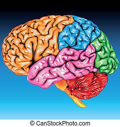 cerveau humain, vue latérale