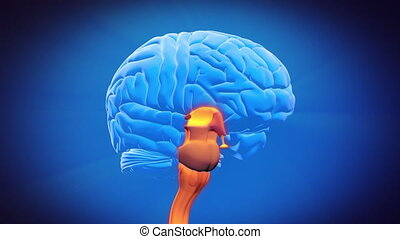 cerveau, partie, -, spinal