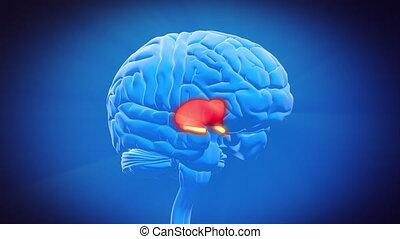 cerveau, partie, -, thalamus