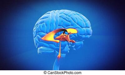cerveau, partie, -, ventricule