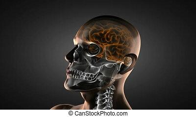 cerveau, radiographie, humain, balayage