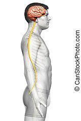 cerveau, rendu, illustration, mâle, précis, 3d, medically