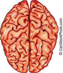 cerveau, sommet, humain, vue