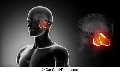 cervelet, mâle, x, cerveau, anatomie