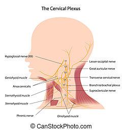 cervical, eps10, plexus
