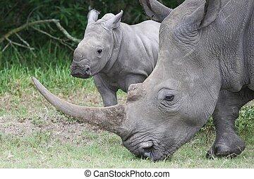 c'est, bébé, mère, rhinocéros