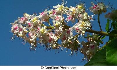châtaigne, 1080, -, hd, fleurir