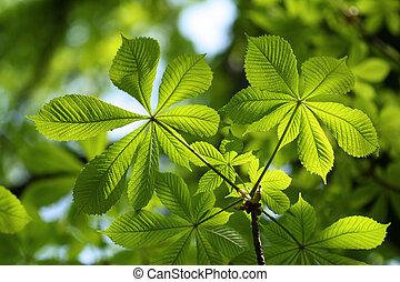 châtaigne, beau, feuilles, feu vert