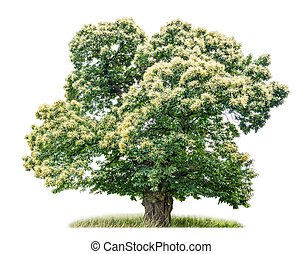 châtaigne, blanc, arbre, isolé, fond
