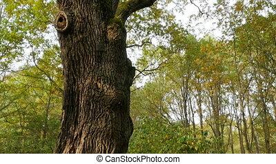 chêne, centenaire, géant, arbre