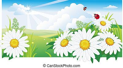 chamomile., paysage, été