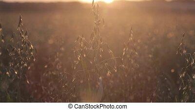 champ, avoine, vert, coucher soleil