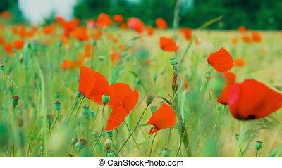 champ blé, sauvage, pavot, fleurs, rouges