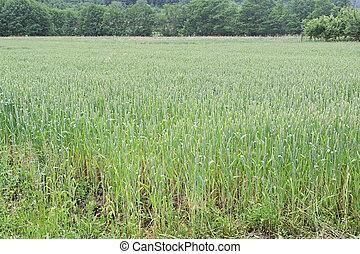 champ blé, vert