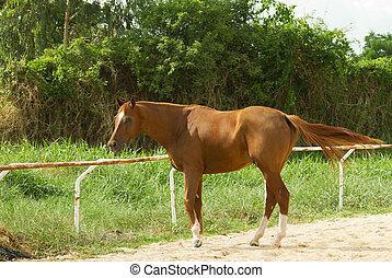 champ, cheval, vert, brun
