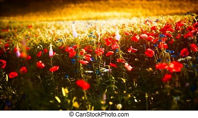 champ, coucher soleil, fleur sauvage