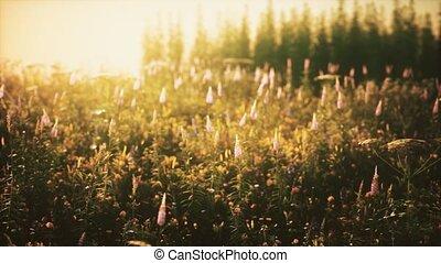 champ coucher soleil, sauvage, été, fleurs