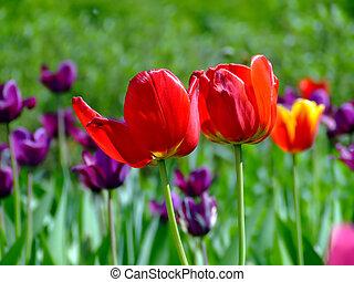 champ, deux tulipes